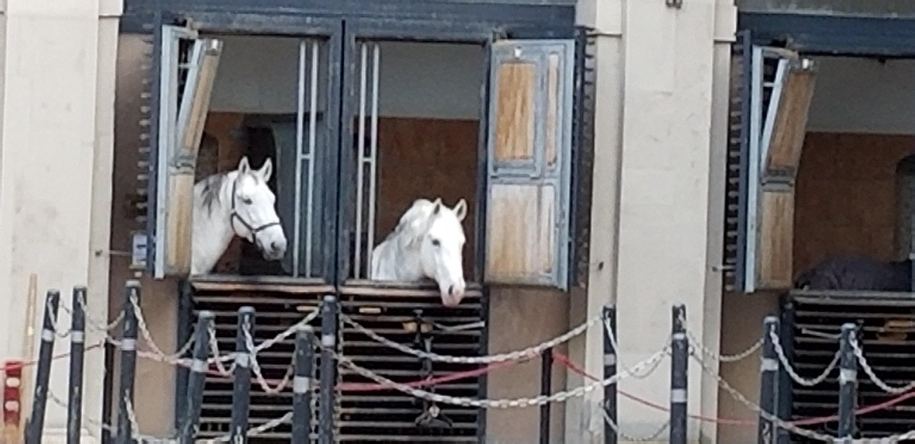 Lippizan stallions watch the crowds go by