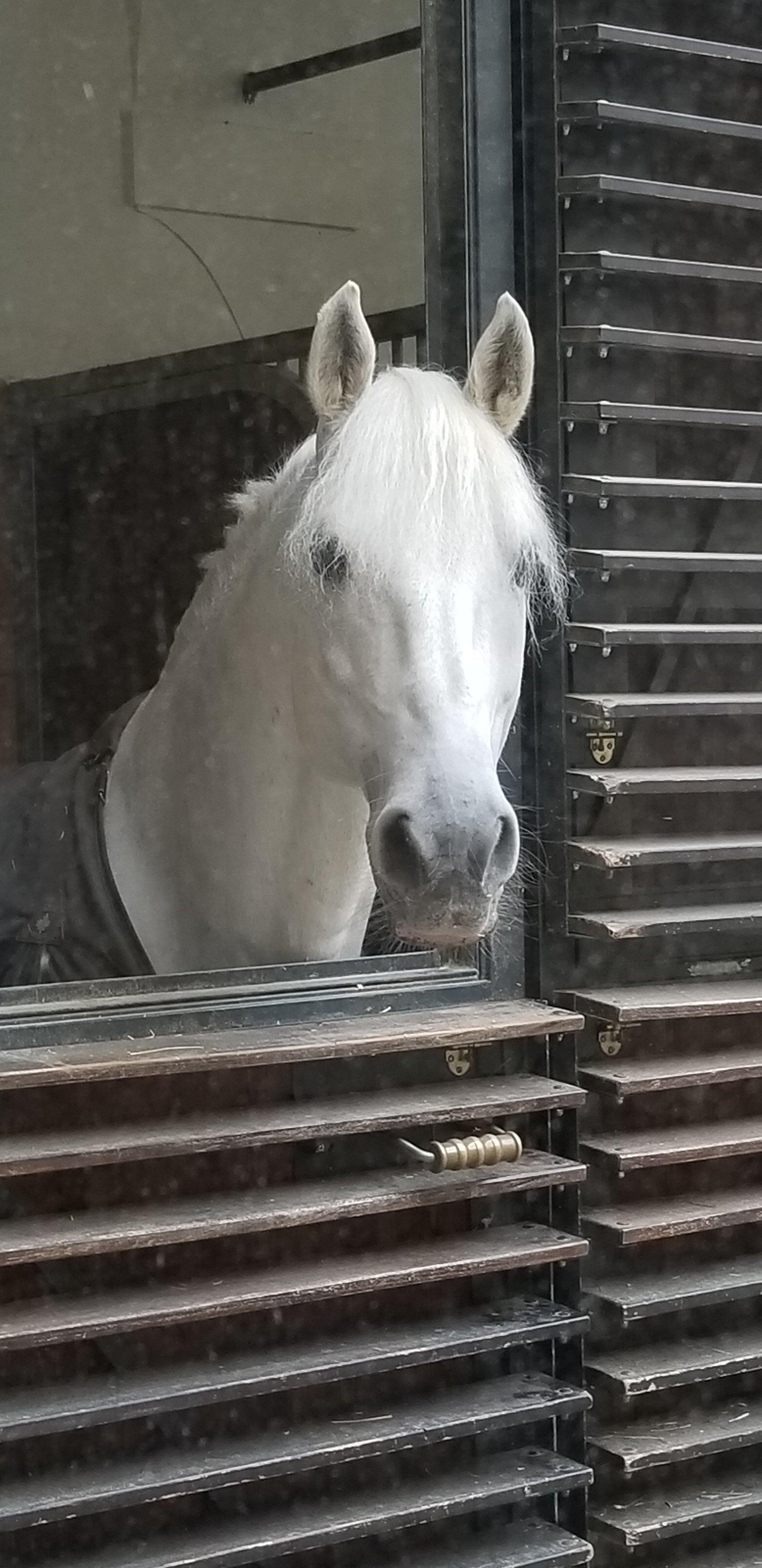 Lippizan at the Spanish Riding School